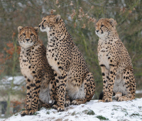 Cheetahs in the snow